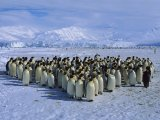 Императорские пингвины (Emperor penguins)