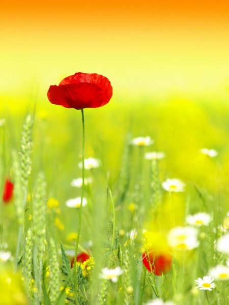 Мак в поле (Poppy in a field)